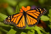 Featured Art - A Monarch Butterfly At The Lincoln by Joel Sartore