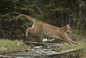 Wildcats Posters - A Mountain Lion, Felis Concolor, Leaps Poster by Jim And Jamie Dutcher
