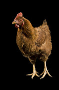 Nebraska. Posters - A New Hampshire Red Hen Chicken Poster by Joel Sartore