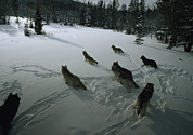 Canis Lupus Prints - A Pack Of Gray Wolves, Canis Lupus Print by Jim And Jamie Dutcher