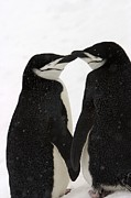 Subject Prints - A Pair Of Chinstrap Penguins Print by Ralph Lee Hopkins