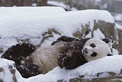 Natural Forces Art - A Panda In The Snow At The National Zoo by Taylor S. Kennedy
