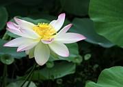 Sabrina L Ryan - A Pink Tipped White Lotus