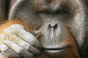 Orangutans Photos - A Portrait Of A Captive Male Orangutan by Norbert Rosing