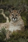 Wildcats Posters - A Portrait Of A  Mountain Lion, Felis Poster by Jim And Jamie Dutcher