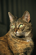 Felines Tapestries Textiles - A Portrait Of A Pet Tabby Cat by Medford Taylor