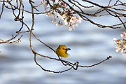 Warblers Framed Prints - A Prothonotary Warbler On A Blooming Framed Print by Charles Kogod