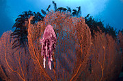 Whip Posters - A Red Sea Fan With Sponge Colored Clam Poster by Steve Jones