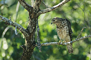 Roosting And Resting Posters - A Red Shouldered Hawk Perches In A Tree Poster by Klaus Nigge