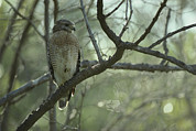 Buteo Lineatus Framed Prints - A Red Shouldered Hawk Perches On A Tree Framed Print by Klaus Nigge