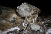 Snow Leopards Prints - A Remote Camera Captures A Snow Leopard Print by Steve Winter