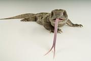 A Savanna Monitor Lizard Varanus Print by Joel Sartore