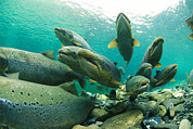Featured Posters - A School Of Atlantic Salmon Hold Poster by Paul Nicklen