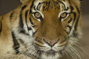 Omaha Photos - A Siberian Tiger Panthera Tigris by Joel Sartore
