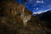 Snow Leopards Prints - A Snow Leopard Signals Its Presence Print by Steve Winter