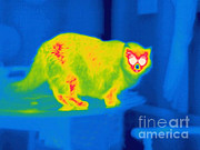 Pet Loss Posters - A Thermogram Of A Long Haired Cat Poster by Ted Kinsman