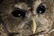 Animal Eyes Posters - A Threatened Northern Spotted Owl Poster by Joel Sartore