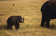 Animal Games Prints - A Tiny Endangered Asian Elephant Calf Print by Jason Edwards