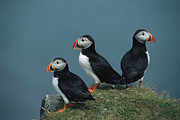 Puffins Posters - A Trio Of Atlantic Puffins Perch Poster by Sisse Brimberg
