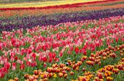 Woodburn Framed Prints - A Tulip Field Framed Print by Craig Tuttle