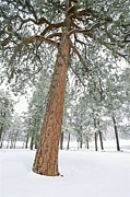 Forests And Forestry Art - A View Of A Snow-covered Ponderosa Pine by Rich Reid