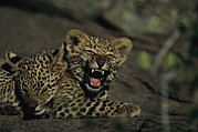 Panthera Photo Framed Prints - A Yawning Four-month-old Leopard Cub Framed Print by Kim Wolhuter