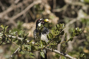 Survival Prints - Acorn Woodpecker Melanerpes Print by Rich Reid