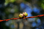Photographic Art Art - Acorns Apprehended by Al Powell Photography USA