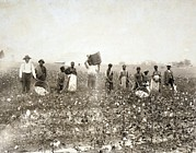 Cotton Picking Posters - African American Men, Women Poster by Everett