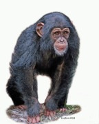 Chimpanzee Digital Art Framed Prints - African Chimpanzee Framed Print by Larry Linton
