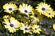 Buttermilk Prints - African Daisy (osteospermum buttermilk) Print by Dr Keith Wheeler