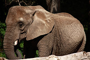 Elephant Photos - African Elephant  by Aidan Moran
