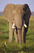 Tusk Photo Prints - African Elephant Loxodonta Africana Print by Gerry Ellis