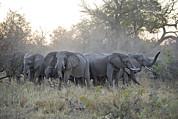 African Elephant Loxodonta Africana Print by Suzi Eszterhas