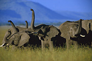 Sniffing Prints - African Elephant Loxodonta Africana Print by Tim Fitzharris