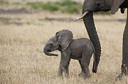 Elephant Prints - African Elephant Mother And Under 3 Print by Suzi Eszterhas