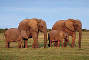 South African Prints - African Elephants Print by Peter Chadwick