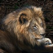 Zoo Metal Prints - African Lion Metal Print by Tom Mc Nemar