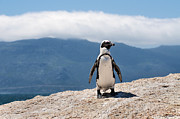 Penguins Prints - African Penguin Print by Fabrizio Troiani