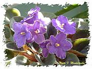 Violet Photo Originals - African Violet by Keith Mendelssohn