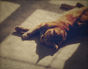 Tabby Cat Photos - Afternoon Nap by Amy Tyler