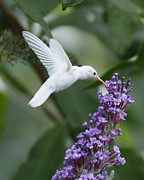White Flower Photos - Albino Ruby-Throated Hummingbird by Kevin Shank Family