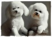 Bichon Frise Framed Prints - All Smiles Framed Print by Lynn Andrews