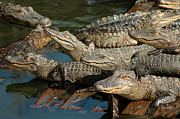 Alligators Photos - Alligator Pool Party by Carolyn Marshall