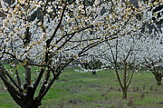 Languedoc Prints - Almond tree in flower at spring Print by Sami Sarkis