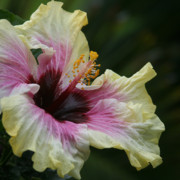 Dimensions Framed Prints - Aloha Aloalo Tropical Hibiscus Haiku Maui Hawaii Framed Print by Sharon Mau
