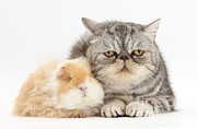 House Pets Posters - Alpaca Guinea Pig And Silver Tabby Cat Poster by Mark Taylor