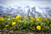 Alberta Rocky Mountains Prints - Alpine meadow in Jasper National Park Print by Elena Elisseeva