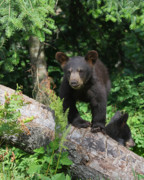 Black Bear Cubs Photos - Am I Cute Or What by Gerry Sibell