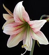 Greeting Card Drawings - Amaryllis by Frederic Kohli